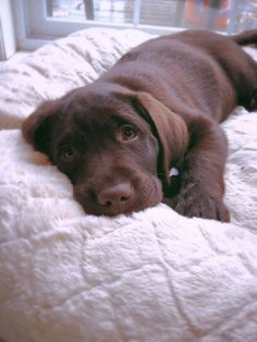 Labrador Retriever Pups #labradorretriever