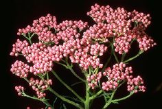 Ozothamnus diosmifolius. Pink one is pretty too.