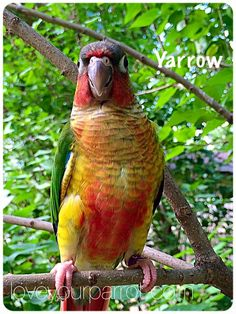 Yellow-Sided Green-Cheeked Conure Parrot *Female