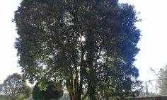 Foto dunha árbore  Fernando Sanmartín  Esta obra ten unha licenza Creative Commons Atribución-Non comercial-Compartir igual 4.0 Internacional.