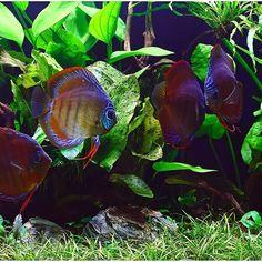 Red Alenquer Discus #FAAO #Discus #RedAlenquer #Planted #Aquarium #Aquatic…