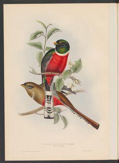 26 - A monograph of the Trogonidae or family of the Trogons - Page view - BPU Neuchâtel (RERO) - e-rara