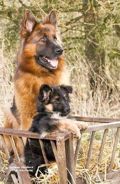 Resultado de imagen para собака german shepherd объятие