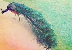 Most beautiful animal #green #peacock