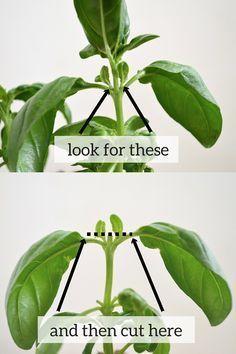 pruning basil                                                       … #herbgardening