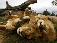 Lion Brothers, Australia    Photograph by Mick Tsikas