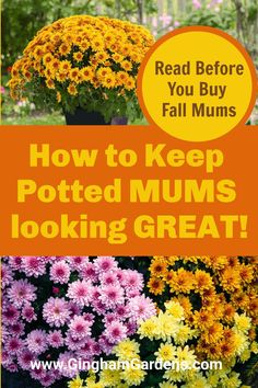 Want your outdoor potted mums to last the entire fall season? 5 Amazing Tips to Keep Potted Mums Looking Great and how to get fall mums to last. Learn How to Buy and Take Care of Potted Mums so that they last several weeks. #tipsforbuyingpottedmums #howtogetpottedmumstolast #howtokeepmumsblooming Annual Flowers For Shade, Potted Mums, Potted Plants, Mum Planters, Hardy Mums, Caring For Mums, Fall Mums, Fall Plants, Flowering Vines