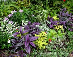 The Decorated House: Gardening with Colorful Foliage : Persian Shield and Coleus plus more
