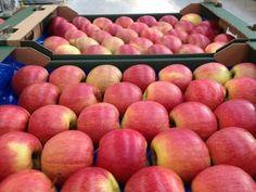 POMI FRUCTIFERI Apple, Fruit, Food, Plant, Apple Fruit, Essen, Meals, Yemek, Apples