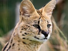 Serval | serval1.jpg
