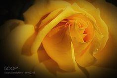 Yellow Rose by Louadfel #nature #mothernature #travel #traveling #vacation #visiting #trip #holiday #tourism #tourist #photooftheday #amazing #picoftheday