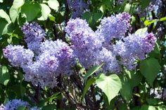 Rochester NY Lilac Festival - May