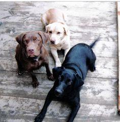Köpeklerin cinsel olgunluğa ulaşması 6-12 ay, sosyal olgunluğa ulaşması ise 2 yıl alır.