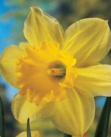 Carlton Large Cupped Daffodil. 100 for $24
