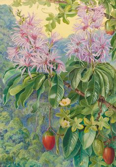 457. Wild Chestnut and Climbing Plant of South Africa. botanical print by Marianne North