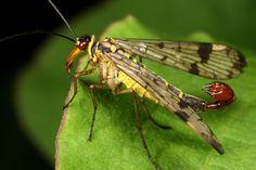 http://img12.deviantart.net/cefe/i/2009/306/8/f/scorpion_fly_2009_by_macrojunkie.jpg