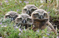 Corujas aparecem fora do ninho em clube de golfe na Califórnia