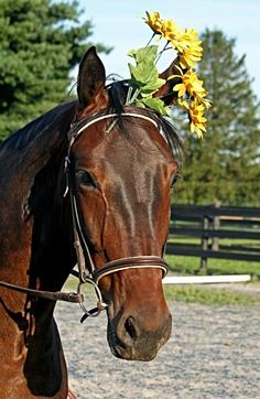 Adopt a Retired Standardbred Horse!