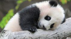 16. Panda