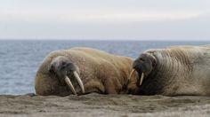 Svalbard-morses - blog Bar a Voyages #Svalbard #spitzberg #norvege #ice #banquise #arctique #arctic #morses #walrus #norway