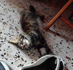 maine coon kitten sleeps on shoes