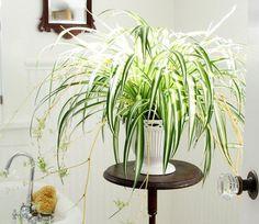 7. Planta de aranha (Chlorophytum)