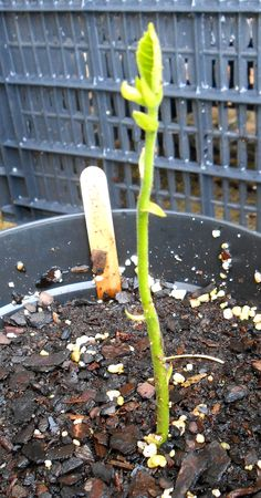 Plants that I grow: Jackfruit seedling