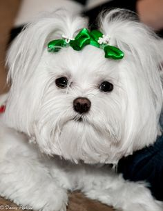 #Maltese with Green Bows