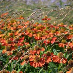 Heleniums in the aut