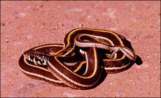 Blackneck Garter Snake, Thamnophis cyrtopsis cyrtopsis  Photo: U.S. Geological Survey