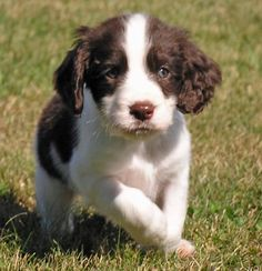 Growing up with one of these sweet dogs (English Springer Spaniels) made me smile every day!