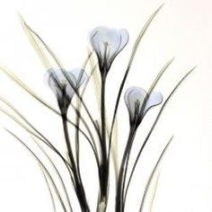 Crocus in Black and White - Albert Koetsier Fig Drawing, White Art, Black And White, Dutch Artists, Colorful Paintings, Find Art, Framed Artwork, Pink Flowers, Beautiful Flowers