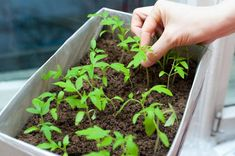 Growing tomato plants from seeds is not that difficult and it is extremely rewarding. Phenomenal Growing Tomatoes from Seeds Ideas. Growing Tomatoes Indoors, Growing Tomatoes From Seed, Growing Vegetables In Containers, Growing Tomato Plants, Tomato Seedlings, Container Gardening Vegetables, Growing Seeds, Grow Tomatoes, Cherry Tomatoes
