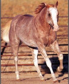 Chestnut sabino. Pretty much my favorite horse color of all time.