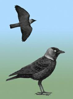 Kawka (Corvus monedula) [99]rodzina: krukowate  Długość ciała: 31-35 cm. Pospolity ptak wielkości gołębia. Ubarwienie łupkowoczarne. Na głowie czarna czapeczka i twarz, kark i boki szyi szare. Gniazduje pojedynczo lub kolonijnie w budynkach, zajmując wież
