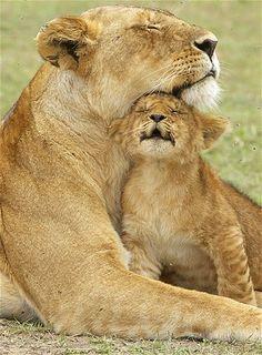 Imagem: Filhote de leão troca carinhos com a mãe (© Phil West/Royal African Safaris/Caters)