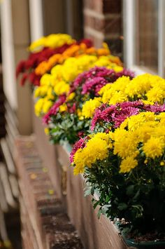 Mums in window boxes..this would be an awesome window box for my house!