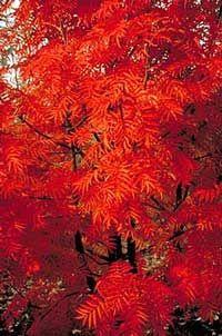 Røn 'Dodong' / Sorbus hybrid 'Dodong'