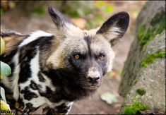 Killer, but not a murderer by woxys on DeviantArt Beautiful Creatures, Animals Beautiful, African Wild Dog, Out Of Africa, Wild Dogs, African Animals, Hunting Dogs, Four Legged, Animal Pictures