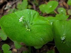 Caryophyllales, Montiaceae, Claytonia perfoliata (2 entire leaves fused, 2 sepals, 5 petals, circumscissile capsules)