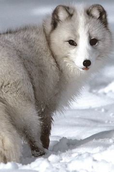 Artic fox... I am pretty sure I read that these beautiful creatures can survive down to 65 or 70 degrees below freezing! That pretty coat isn't just for looks! Wow!!!!