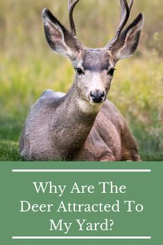 You may not realize that your plant choices and location can attract deer to your yard,. If you're trying to deer proof your garden, understanding what's attracting them to your yard is the first step toward developing a deer proofing strategy.  #deerresistant #deerproof #deerproofing #deerproofingyourgarden #deerresistantplants