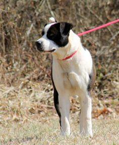 Oreo American Bulldog & Labrador Retriever Mix • Adult • Male • Medium White County Animal Shelter Sparta, TN