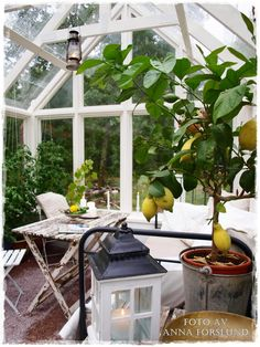 Growing citrus fruits in the conservatory. #gardening, #plants