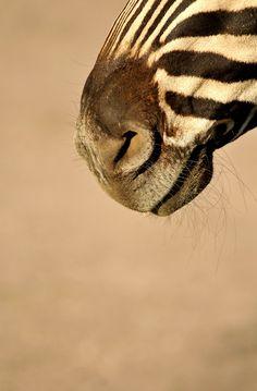 Zebra Nose.