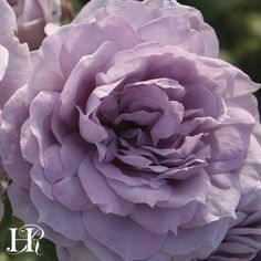 """Poseidon™ This very healthy, moderately fragrant, lavender rose displays very full flowers (50-60 petals) that are approximately 4"""" in diameter. They have a rosette bloom form are cluster-flowered in small clusters and cupped. The blooms are continual and are set against light green foliage on a bushy, upright plant. Disease and blackspot-resistant.  Full sun.  Moderately fragrant"""