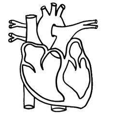 Image result for Free colouring real heart Learning About the