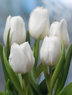 Buy triumph tulip bulbs Tulipa 'White Dream': Delivery by Crocus