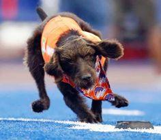 Boise State Tee dog...retrieves the football tee.