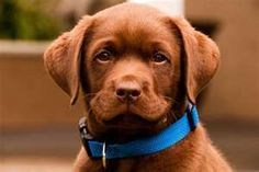 Chocolate Lab Pup...I will have this one day soon
